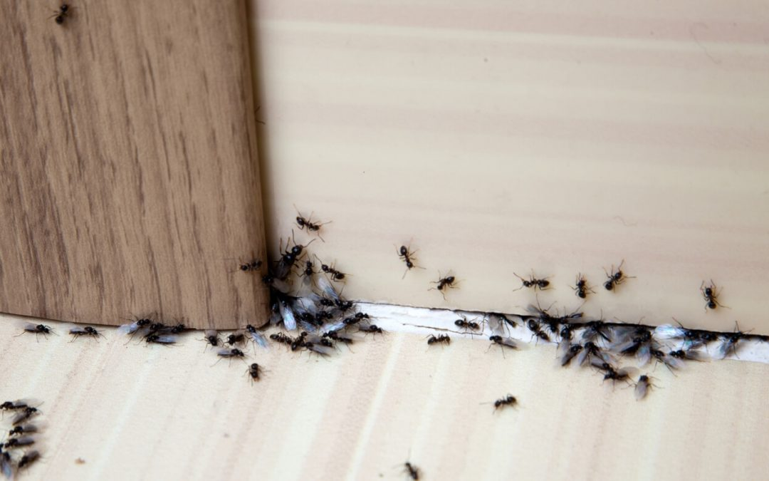 5 Ways to Rid Your Home of Ants
